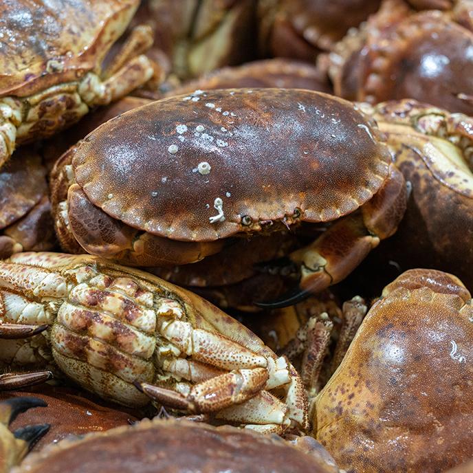 Sapateira viva da concha mar