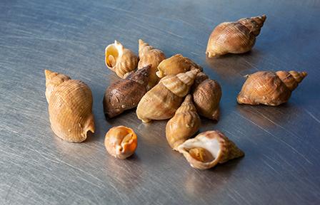 Búzios - Marisco vivo da concha mar