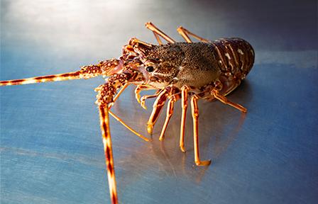 Lagosta - Marisco vivo da concha mar