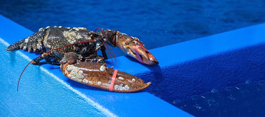 Lavagante - Marisco vivo da Concha mar